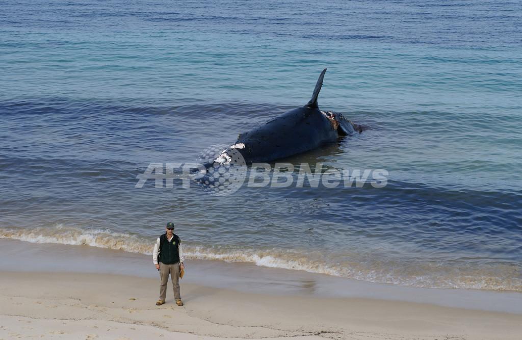 豪の浜辺に希少種セミクジラの死骸、生態解明に期待