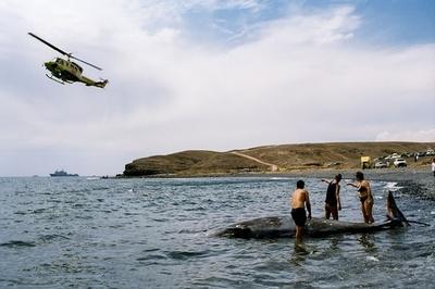 軍用ソナーがクジラの「減圧症」誘発、大量打ち上げの原因研究
