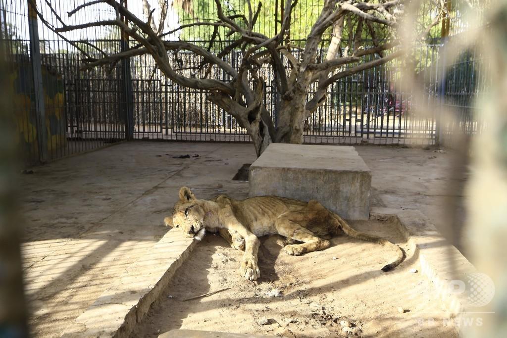 スーダンの「痩せこけた」ライオン、5頭のうち1頭死ぬ