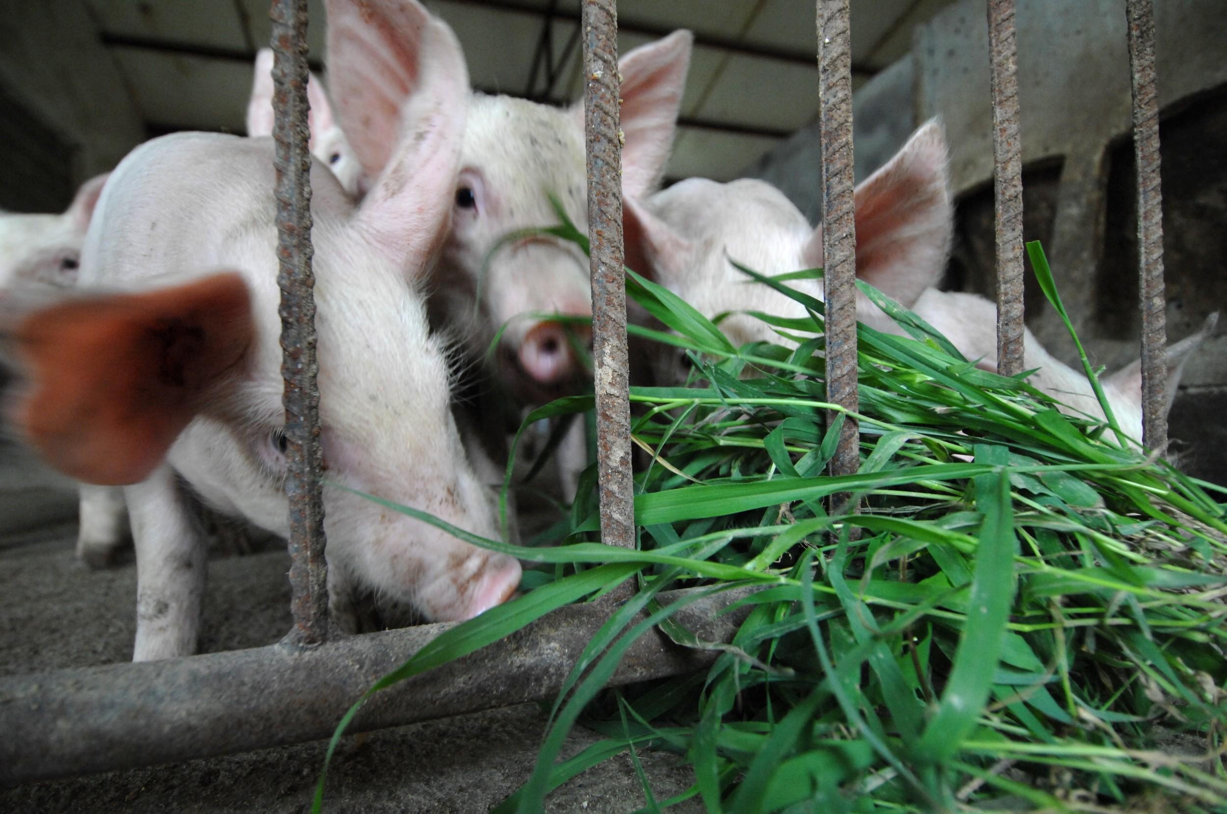 甘粛省永登県、養豚場でアフリカ豚コレラ感染