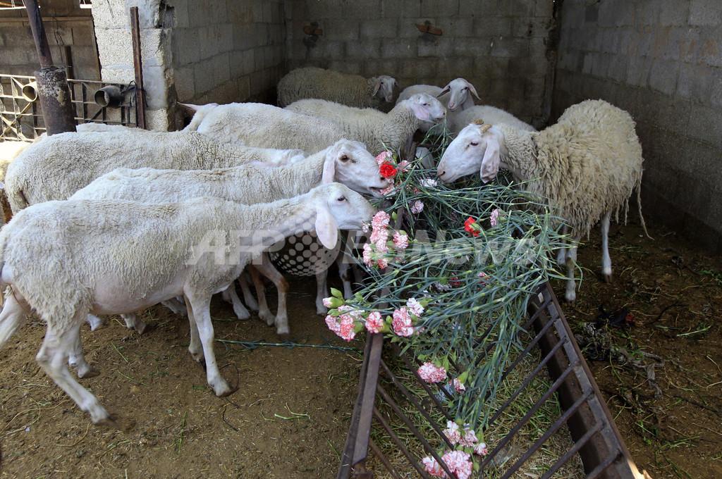 輸出できない花、今年も家畜の餌に パレスチナ・ガザ地区