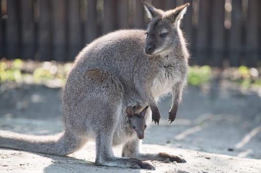 おなかから「こんにちは」、カンガルー親子の仲むつまじい姿 独動物園