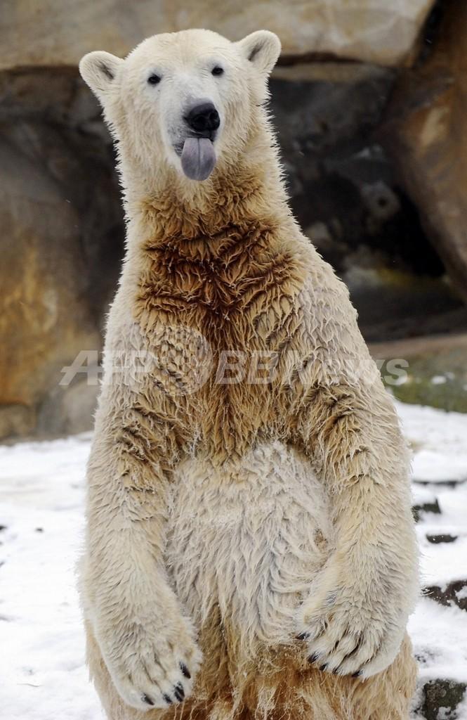 「父」を貸し出した動物園、クヌート人気の利益配分を求める