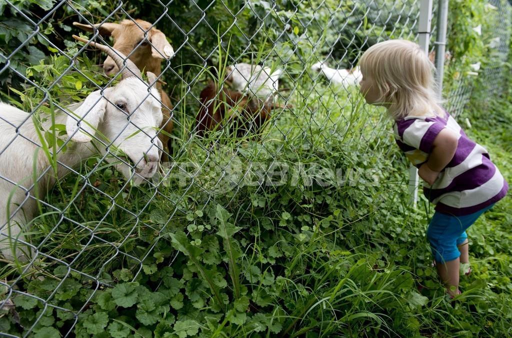 米ワシントン議会墓地に「エコヤギ」の群れ、除草と肥やしが使命