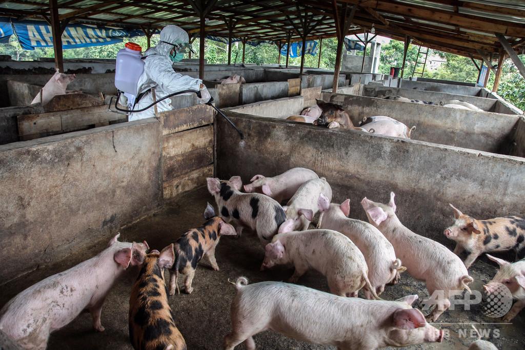 インドネシア、豚コレラ感染で死んだ豚 2万7000頭超える
