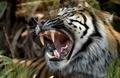 3日間床下に閉じ込められていたトラ、無事救出 インドネシア