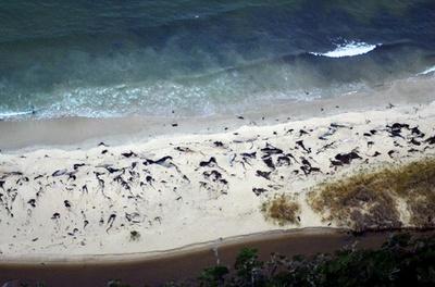 チリ南部でまたクジラ大量死 約70頭見つかる