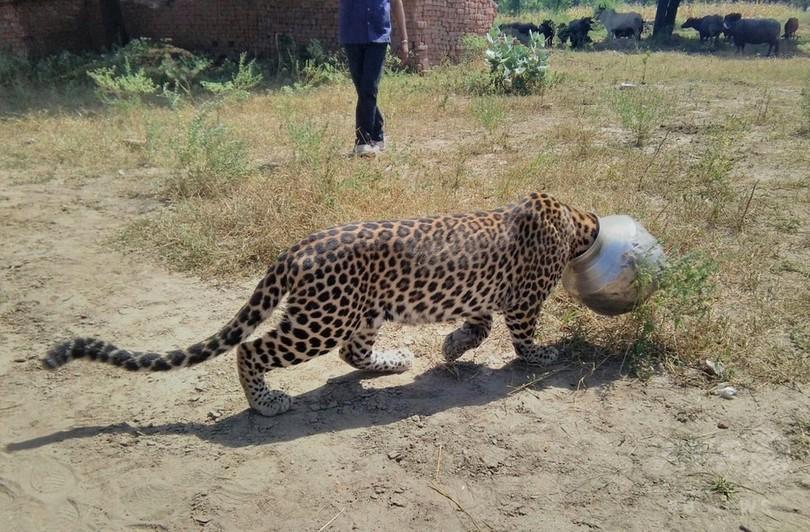 ヒョウの頭がつぼにすっぽり、5時間後に救出 インド