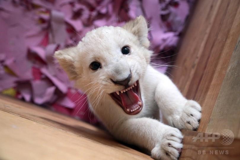 ホワイトライオンの赤ちゃん公開、メキシコ