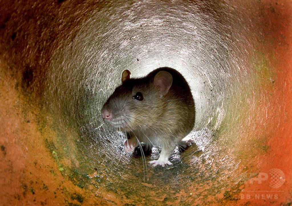 生きたネズミの頭かみ切り食べた男、動物虐待で訴追 豪州