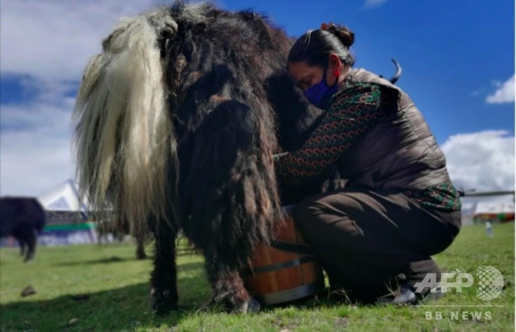 寒冷の高地でも貧困から脱却 合作社で経営改善 中国・チベット