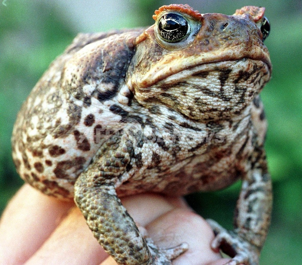 猛毒をもつオオヒキガエルが大繁殖、ワニなどに大きな被害 オーストラリア