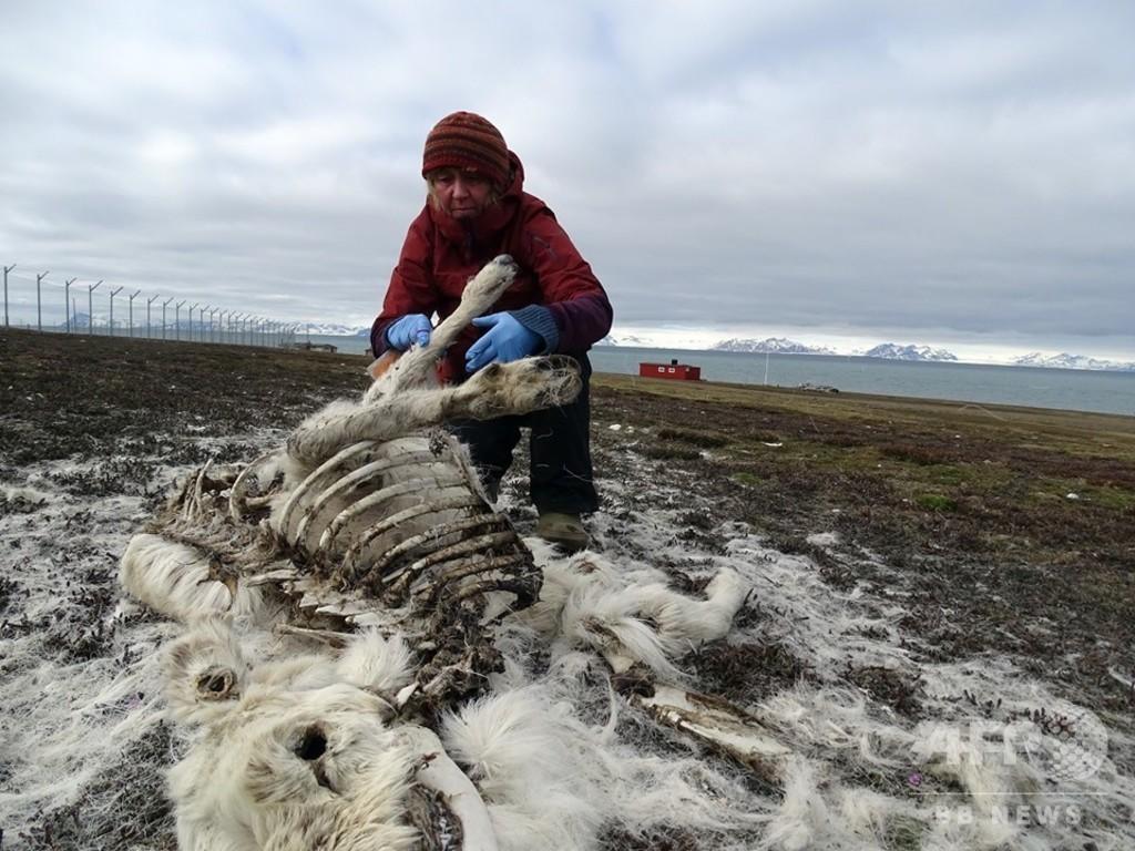 北極圏でトナカイ200頭餓死、気候変動の影響か