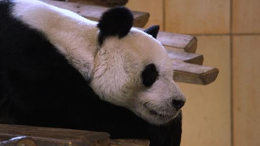 動画:パートナーになれるかな? 動物園に雄のパンダ仲間入り オーストリア