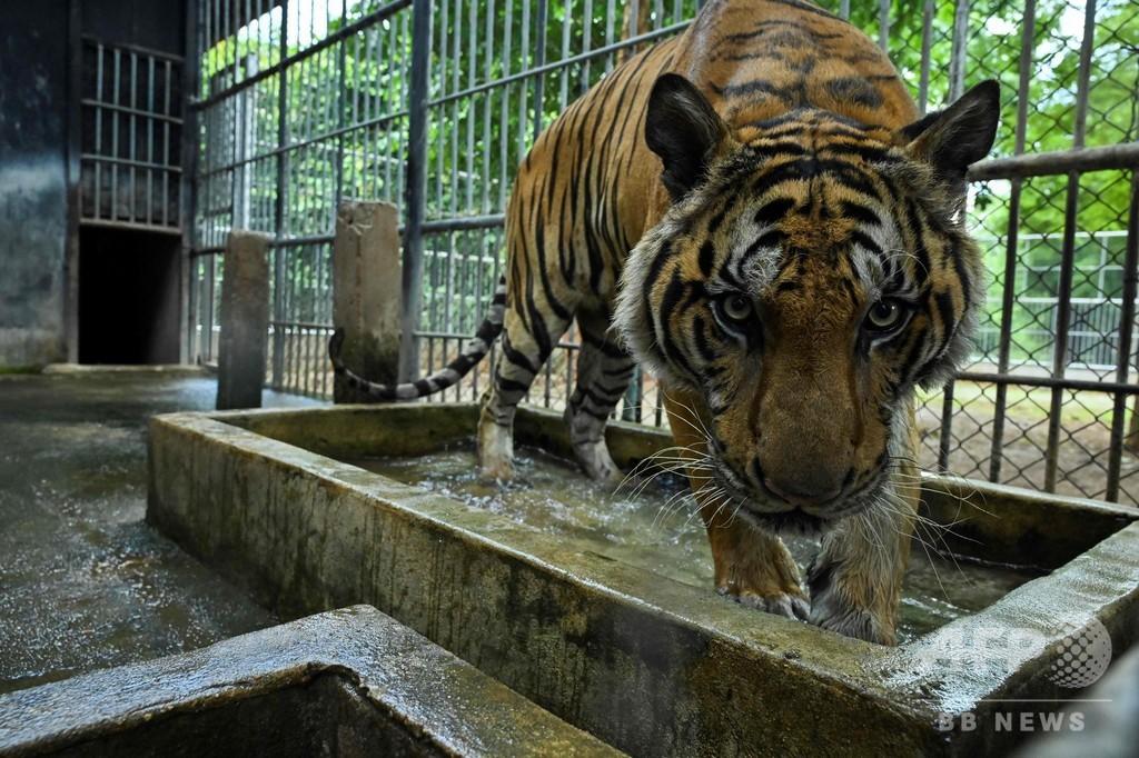 「トラ寺院」で生き残ったトラ、移送先で獣医師らが必死に世話 タイ