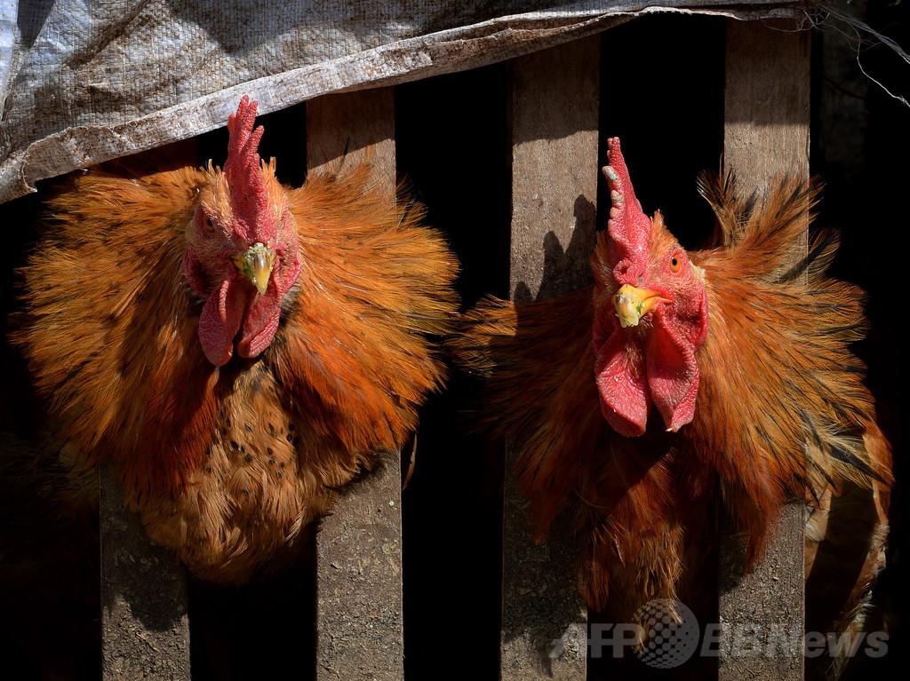 中国のH7N9型鳥インフル死者、2か月で72人