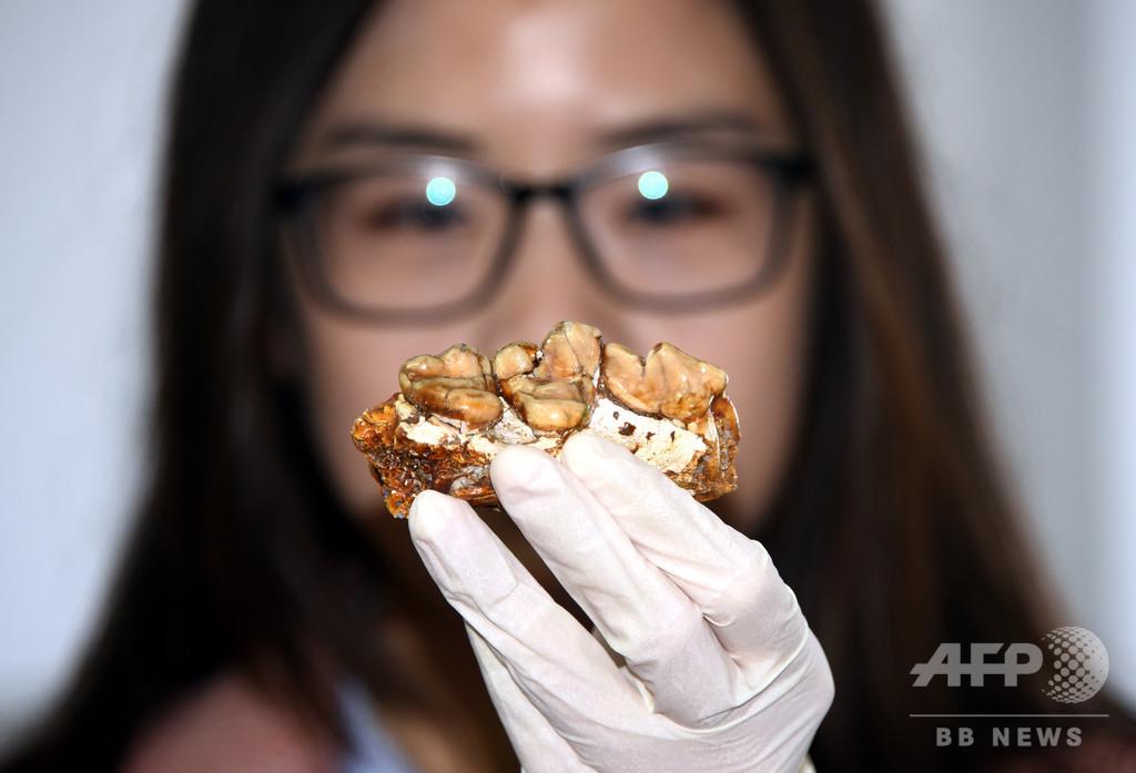 古代の肉食哺乳類アンフィキオン、中国で新種の化石発見