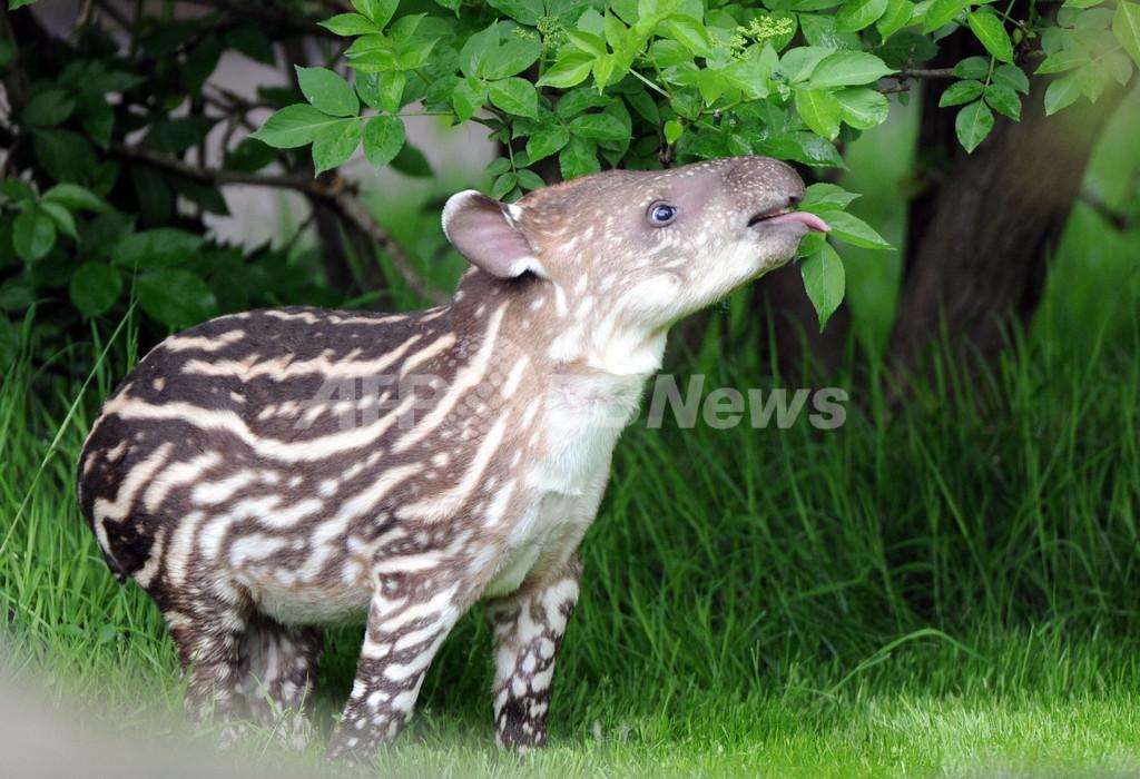 独動物園がバクの赤ちゃんを初公開
