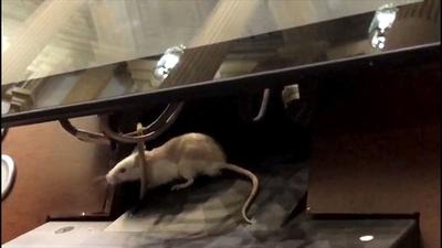 動画:国会に「ネズミ」投下!? 大騒ぎで審議一時中断 コロンビア