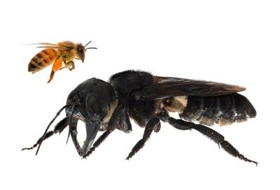 世界最大のハチ、約40年ぶりに確認 人の親指大 インドネシア