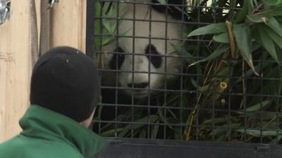 動画:2歳の双子パンダ、中国目指しウィーン動物園出発