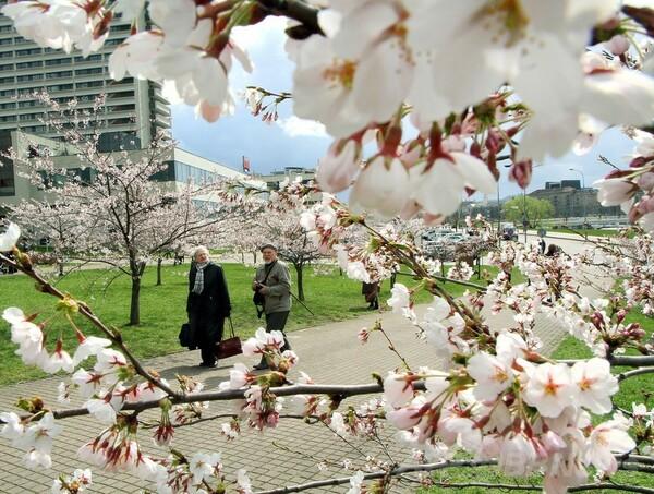 リトアニアで桜を愛でる人々、杉原千畝のサクラ公園