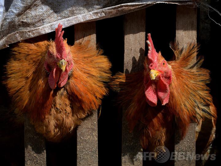 中国、H7N9型鳥インフルの今年の死者100人に迫る