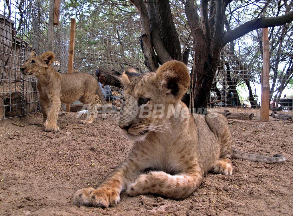 港で保護されたライオンの子ども、荒廃した街を明るく照らす ソマリア