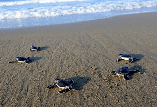 いざ海へ!生まればかりのウミガメの赤ちゃん、インドネシア