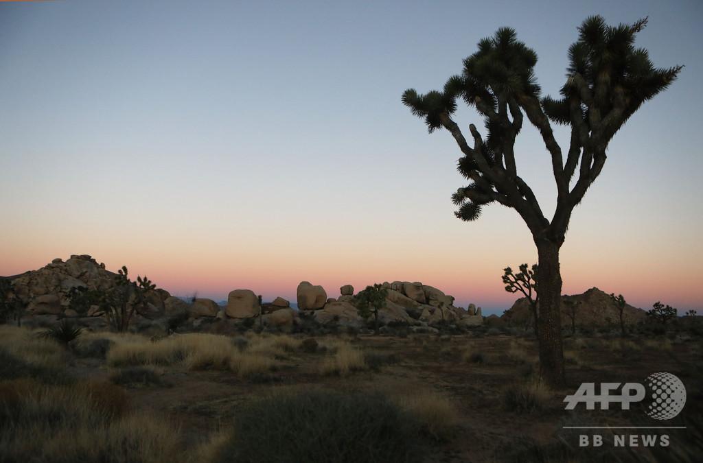 米カリフォルニアの「ジョシュア・ツリー」、気候変動で今世紀中に絶滅か 研究