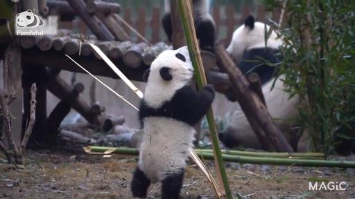 動画:【パンダフル】立ってみたい!格闘する赤ちゃんパンダ