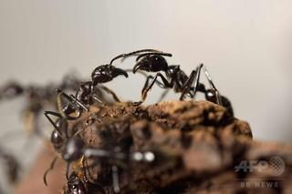 傷ついた仲間を助けるアリ、アフリカで初観察 独研究