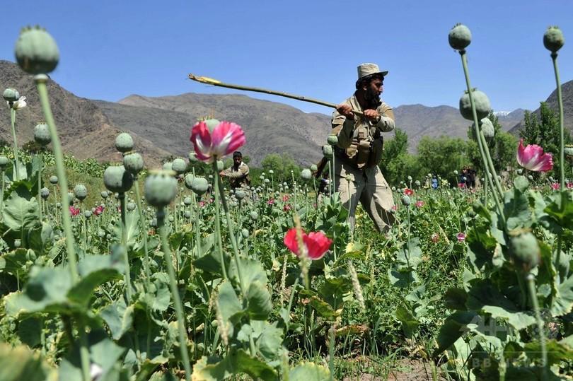 アヘン原料のケシ栽培面積、アフガニスタンで過去最大