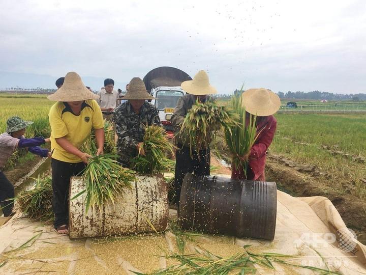 「スーパーハイブリッド稲」平均収穫量、過去最高値更新箇旧市