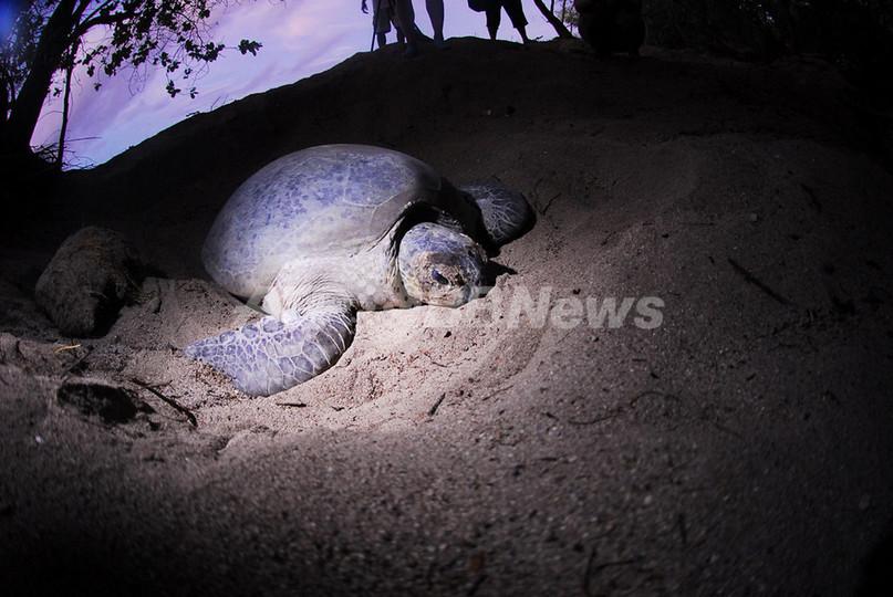 絶滅の危機に瀕するアオウミガメのベビーブーム、フィリピン