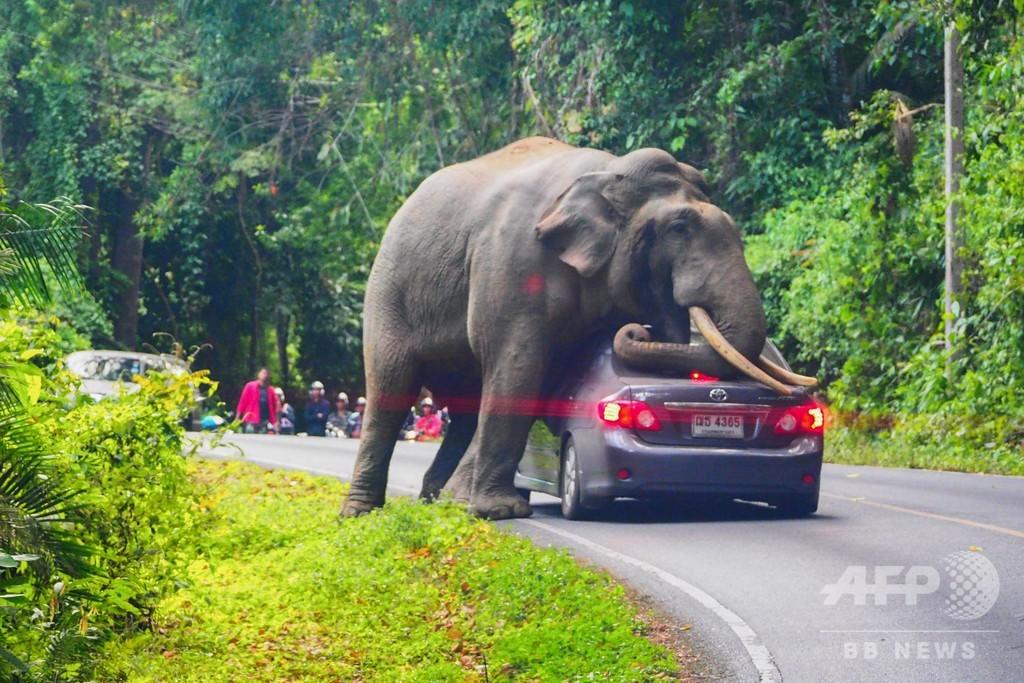 通さないゾウ! タイ国立公園で車が立ち往生 運転手は無事