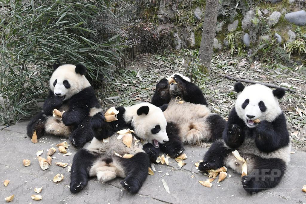 みんなかわいい 中国・四川の「パンダ幼稚園」