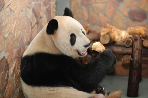 動画:パンダの「福福」、腫瘍ができた精巣の摘出手術に成功