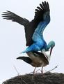 「青いコウノトリ」2羽目を発見、幸せも2倍に?