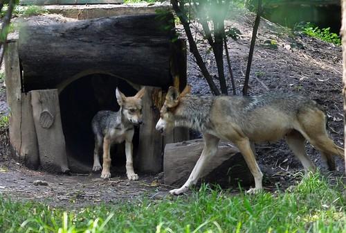 絶滅危惧種のメキシコオオカミ、7匹誕生で沸く動物園