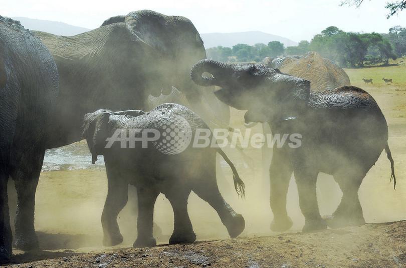 ケニアのゾウ個体数、密猟横行でも増加