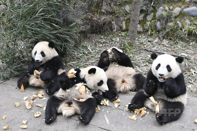 みんなかわいい 中国・四川の「パンダ幼稚園」 写真10枚 国際 ...
