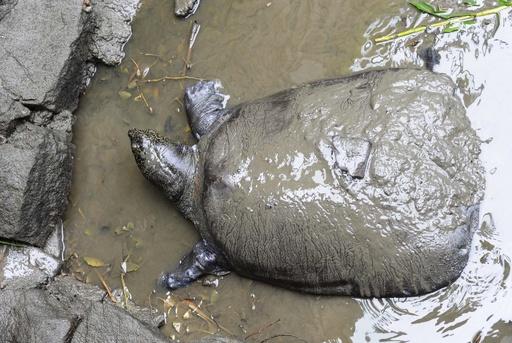 希少な巨大スッポン死ぬ、中国の動物園 世界に残り3匹か