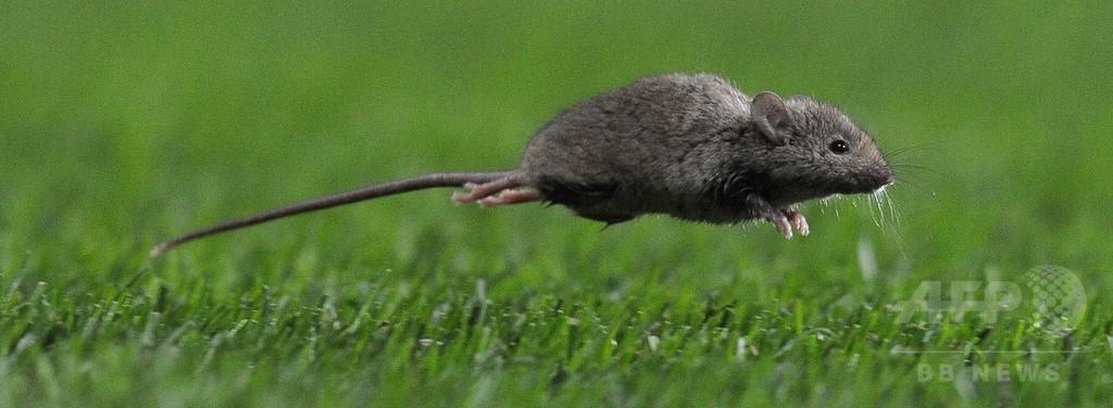 カナダのネズミ、形態変化と北方移動で温暖化に適応 研究