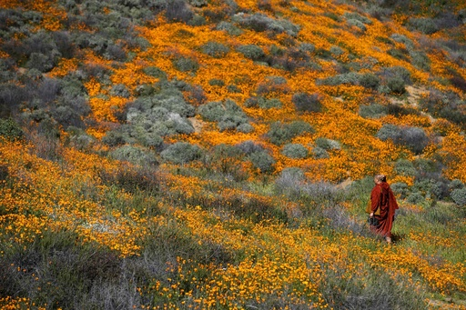 丘をオレンジに染める満開のポピー、米カリフォルニア州