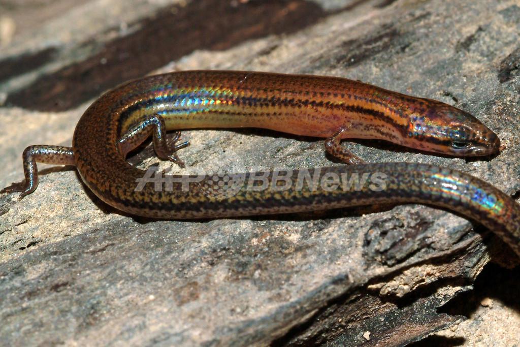 虹色に輝く新種のトカゲを発見、カンボジア