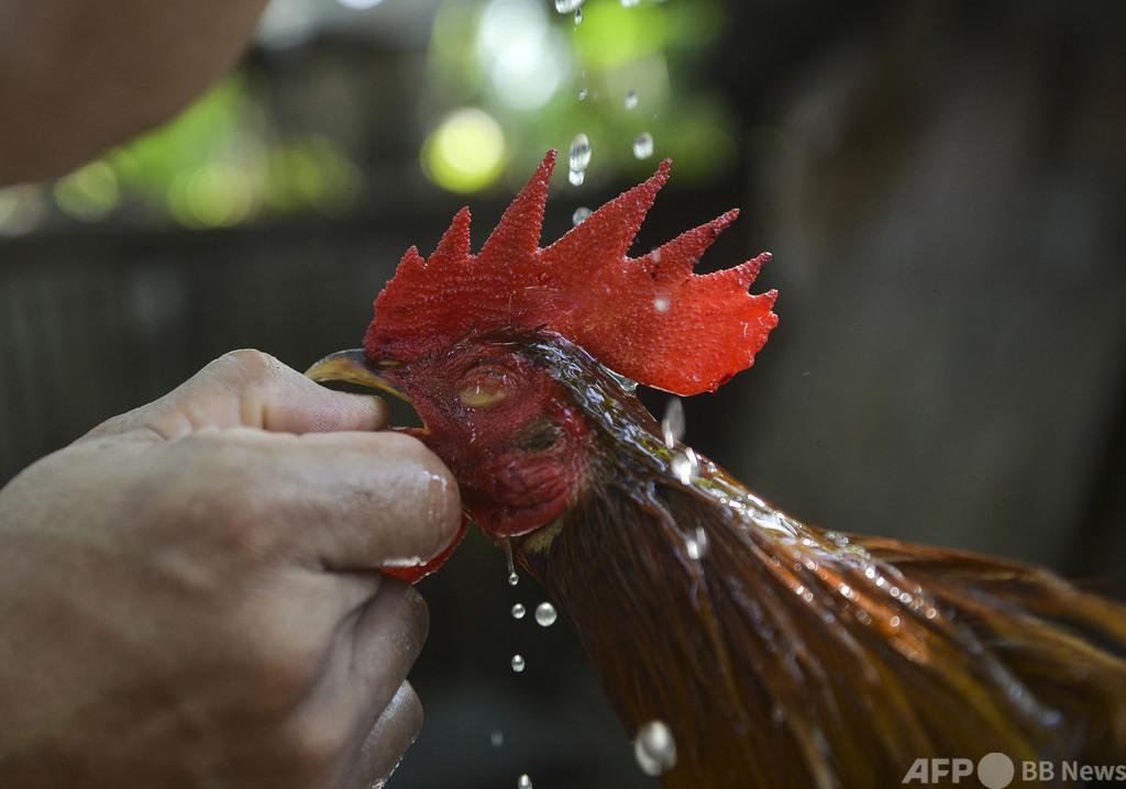 比で禁止の闘鶏で警察署長死亡、鶏の足につけた刃物で動脈切断