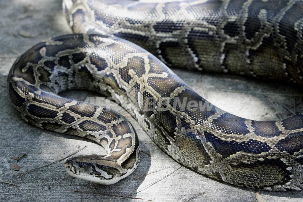 ビルマニシキヘビの驚異の能力、ゲノムで解明 国際研究