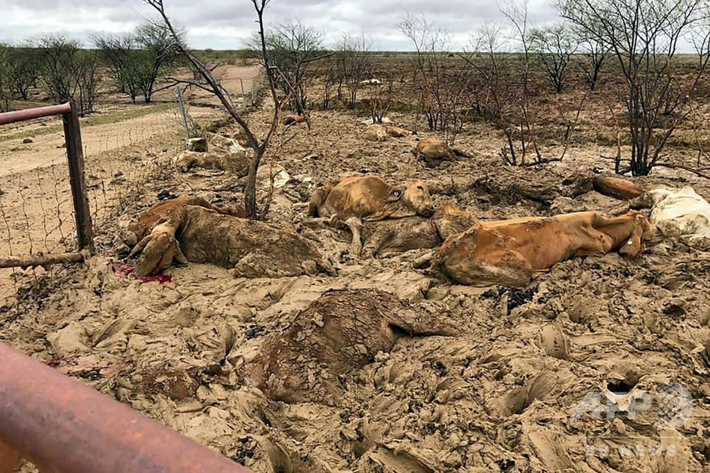 豪の洪水、畜産業に「甚大な損害」 牛30万頭超が死んだ可能性