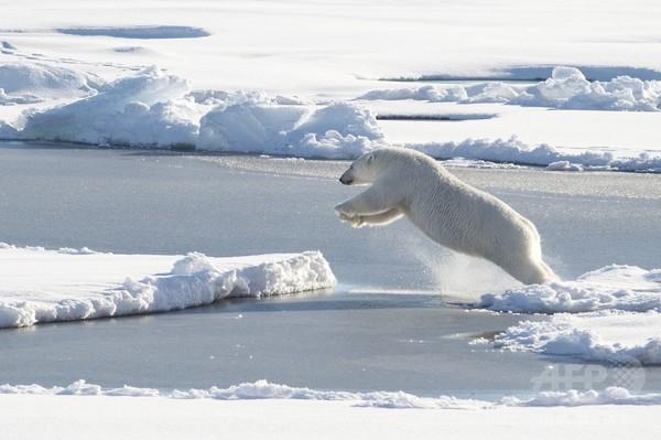 氷上でジャンプするホッキョクグマ
